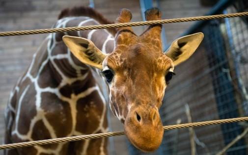 Marius le girafon au zoo de Copenhague (AFP]