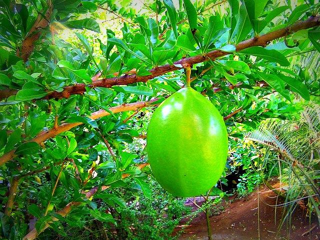 Une calebasse des Caraïbes, ronde, lisse, et toxique. © Damien Boilley Flickr